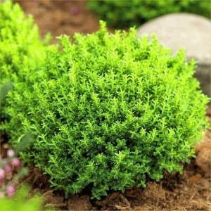 SPECIAL DEAL - Hebe Emerald Green Globe - Pack of THREE Plants