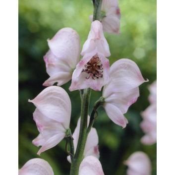Aconitum Pink Sensation - Monks hood