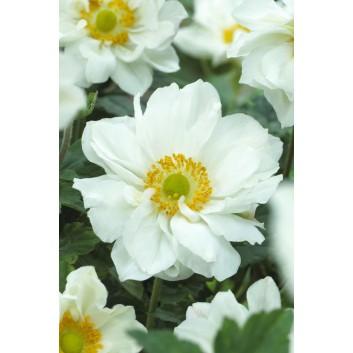 Anemone x hybrida 'Whirlwind' - Japanese Anemone