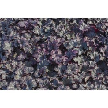 "Heuchera Plum Royale First Ever, Non-Fading Shiny, 4"" purple leaves"