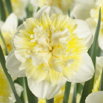 Narcis Ice King - Daffodil