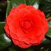 Camellia japonica Black Lace - Dark Red Double Evergreen Camellia