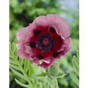 Papaver orientale Patty's Plum - Oriental Poppy
