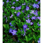 Vinca minor - Blue Flowered Evergreen Ground Cover - Lesser Periwinkle Plant