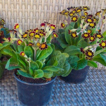 Primula Gold Lace - Gold Laced Polyanthus - Pack of THREE Plants