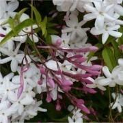 MOTHERS DAY GIFT - Perfumed Chinese Jasmin - Large Pyramid - Jasminum polyanthemum In Bud & Bloom