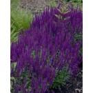 BULK PACK - Salvia nemorosa 'Ostfriesland' - Pack of TEN Perennial Plants