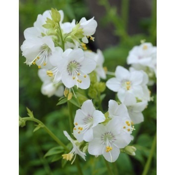 Polemonium caeruleum album - Jacob's ladder