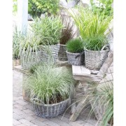 Gorgeous Grasses Collection - 5 Different Ornamental Grasses
