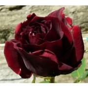 Rose Guinee - Climbing Rose