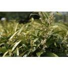Sarcococca hookeriana humilis - Fragrant Sweet Box - Pack of THREE