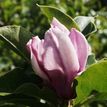 Magnolia George Henry Kern - Tulip Tree