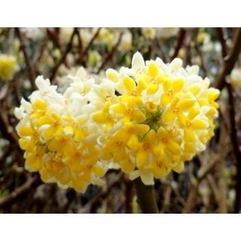 Pair of Edgeworthia chrysantha - Winter Flowering Honeybush Plants