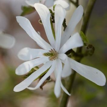 Magnolia Stellata - Large Plant