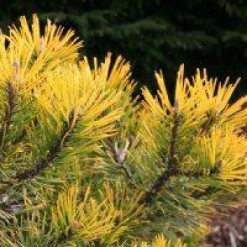 Pinus mugo Winter Gold - Dwarf Golden Mountain Pine