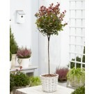 Photinia fraseri ''Little Red Robin'' - Dwarf Compact STANDARD