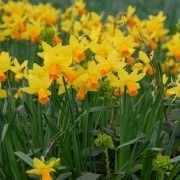 SPECIAL DEAL - Jetfire Dwarf Daffodils in Bud