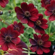 Cosmos atrosanguineous Chocamocha - Pack of THREE Plants in Bud and Flower