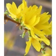 SPECIAL DEAL - Forsythia Goldrush - Pack of THREE Plants in Bud and Bloom
