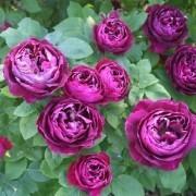 Rose Baron Girod de L'ain - Floribunda Rose