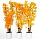 Dendrobium Nobilis FIREBIRD Towering Nobile Orchid - Premium Quality in White Pot