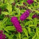 Buddleja davidii Santana - Butterfly Bush - Golden Variegated Buddleia