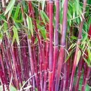 Bamboo RED PANDA - Red Stem Umbrella Bamboo - Pack of THREE Plants