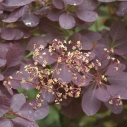 Cotinus Royal Purple - Smoke Bush