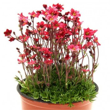 Saxifraga Mossy RED - Pack of THREE cushion Saxifrage Plants