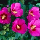 Pair of Patio Standard Hibiscus Trees - Candy Pink