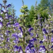 Salvia pratensis Madelaine - New Bi-colour Madelain Salvia