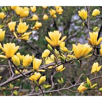 Magnolia Yellow River - (Magnolia denudata Yellow River - 'Fei Huang') - Tulip Tree