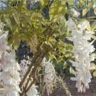 Wisteria sinensis Alba - White