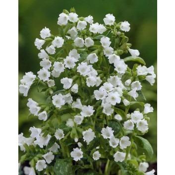 Pulmonaria Sissinghurst White - Lungwort