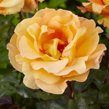 Rose Whisky Mac - Hybrid Tea Rose