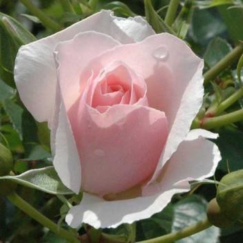 Rose Bride - Hybrid Tea Bush Rose