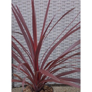 Cordyline australis Red Star - Patio Torbay Palm - Pack of 6 Plants