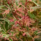 Acer palmatum Beni Schichihenge - Japanese Maple