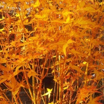 Acer palmatum Bihou - Bi Ho Golden Bark Japanese Maple - Fantastic Year Round Colour