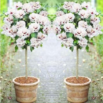 Pair of Patio Standard Hibiscus Trees - Double Ice Cream