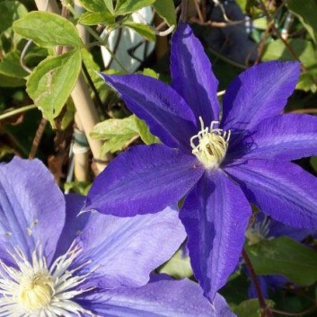 Clematis Morning Star 'Zoklako' - Late Spring Flowering Clematis