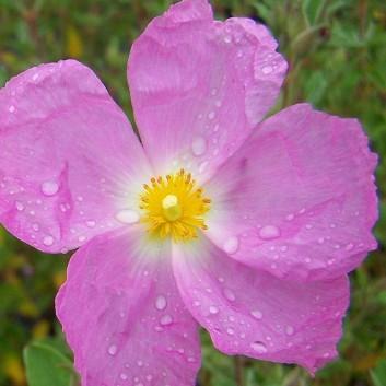 Cistus Silver Pink - Rock Rose