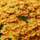 Achillea millefolium 'Walther Funcke' - Yarrow