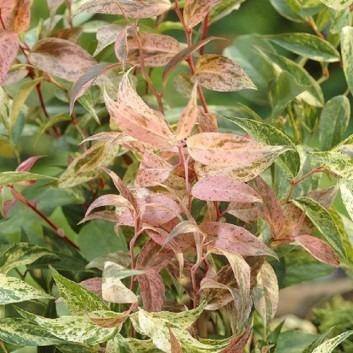 Leucothoe Rainbow - Burnish Bronze-Red & Cream Evergreen Switch Ivy - Pack of THREE Large Plants