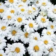 Leucanthemum x superbum Freak! - Shasta Daisy