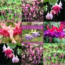 SPECIAL DEAL - Fuchsias - Collection of FIVE Plants with Fabulous Fuchsia Book