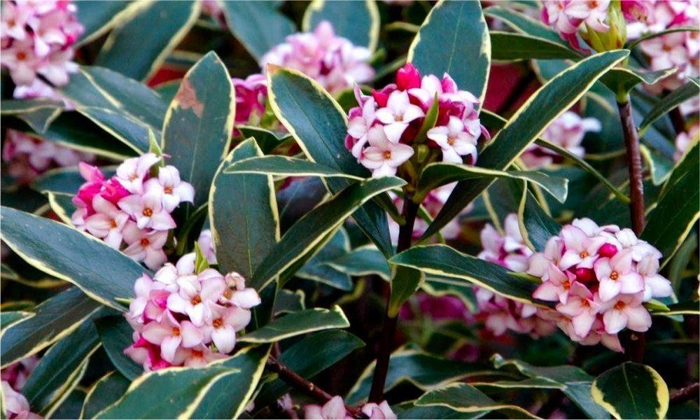 Daphne odora aureomarginata fragrant hardy evergreen shrub for Hardy flowering trees