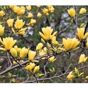 Magnolia Yellow River - (Magnolia denudata Yellow River - 'Fei Huang') - Tulip Tree