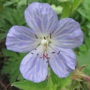 Geranium pratense Mrs Kendal Clark - Meadow Cranesbill