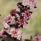 NEW & EXCLUSIVE - Physocarpus opulifolius Tiny Wine - Ninebark